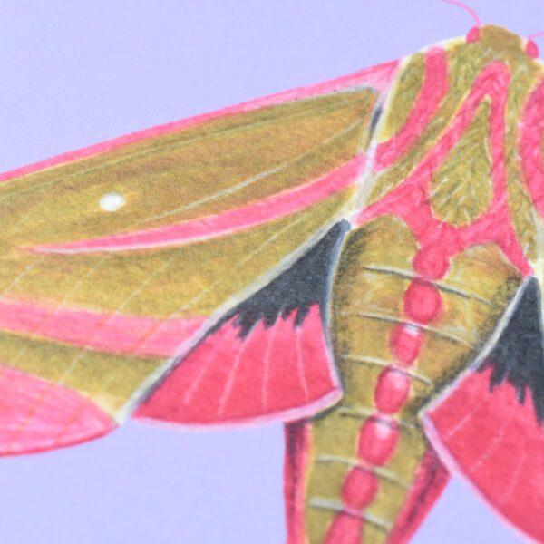 Conker Illustration, 1 Elephant Hawk Moth Art Print Close Up on purple background