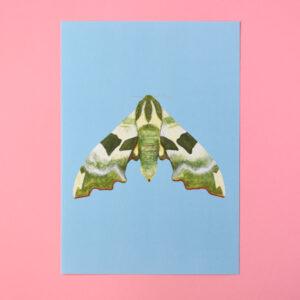 Conker Illustration, 1 Lime Hawk Moth Art Print on a pink background