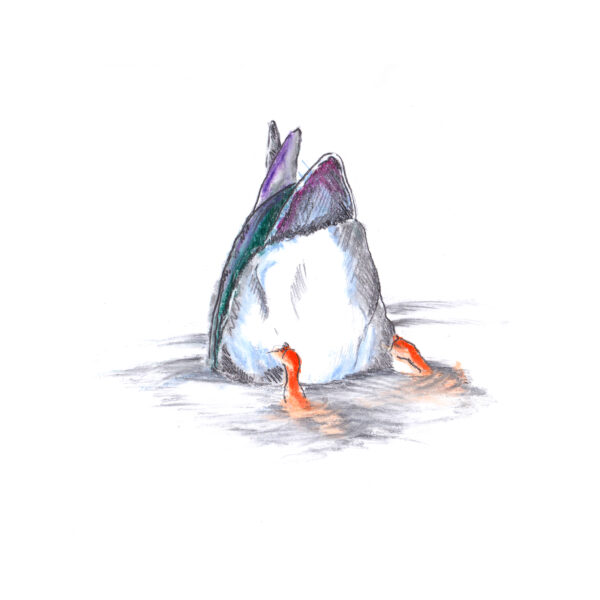Art Hyde Out, ducks series in pencil and coloured chalk