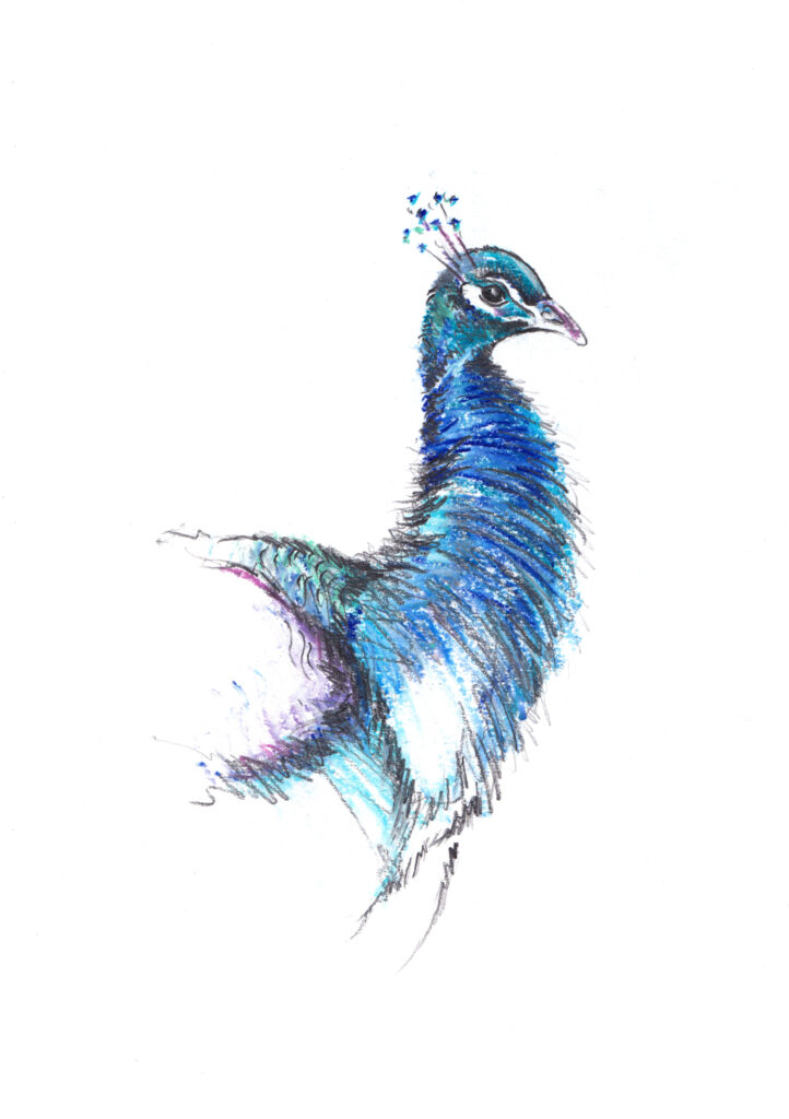 Art Hyde Out, peacock drawing in pencil and chalk